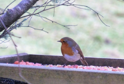 Robin on feeder tray