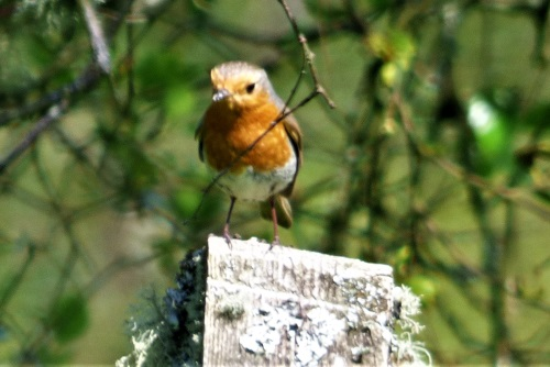 Robin on post in the garden