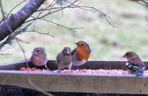Robin with Chaffinches on feeder tray