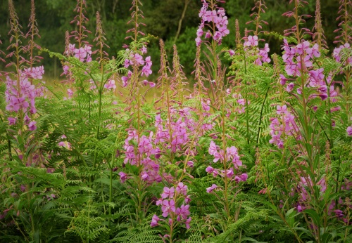 Rosebay willow herb in garden