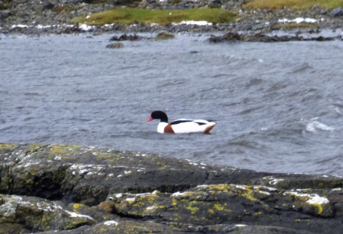 Shelduck Killiechronan