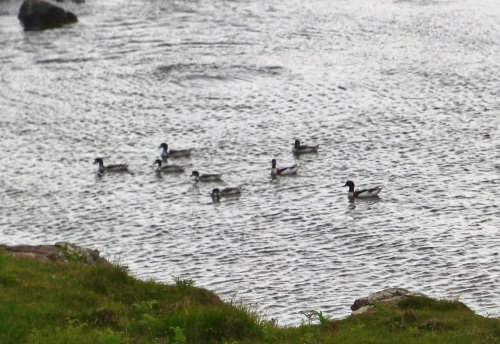 Shelduck pair with duckings