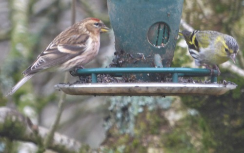 Siskin and Redpoll in garden