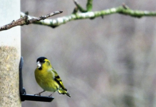Siskin on feeder in garden