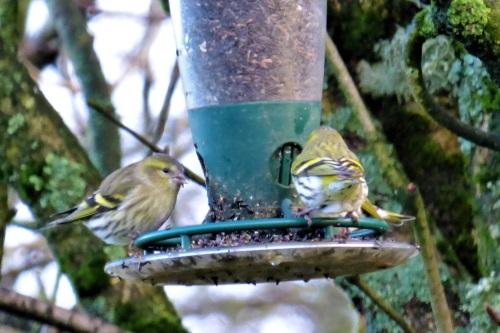 Siskin on niger feeder in garden
