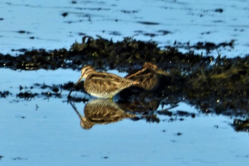 Snipe at Dervaig