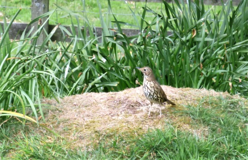 Song Thrush in garden