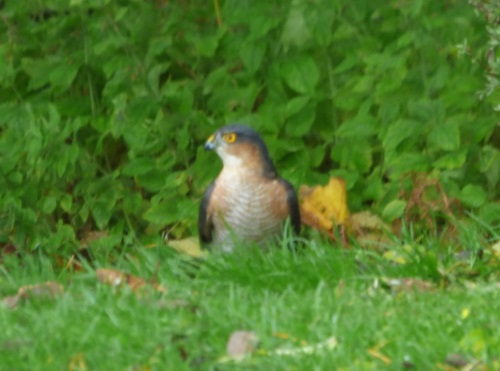 Sparrowhawk in the garden