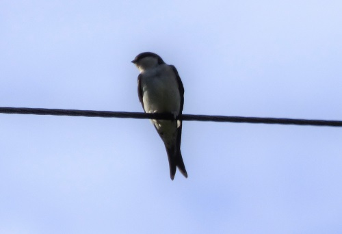 Swallow at Ardrioch