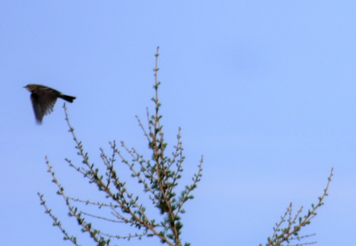 Tree Pipit flying