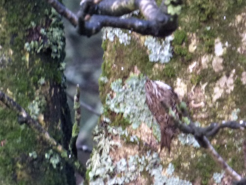 Treecreeper and lichen in garden