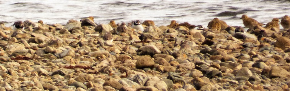 Turnstone, Golden Plover & Ringed Plover