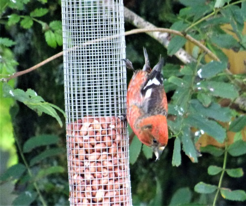 Two barred Crossbill
