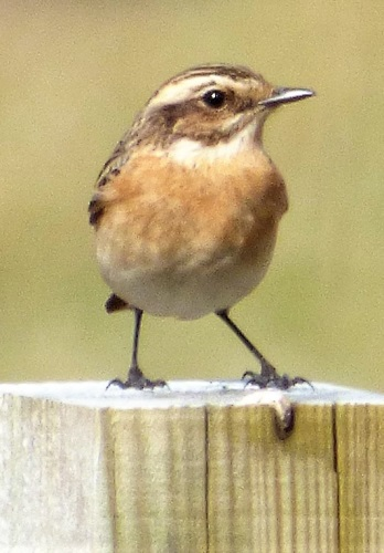 Whinchat close up