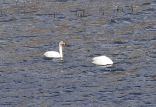 Whooper Swans Glen More