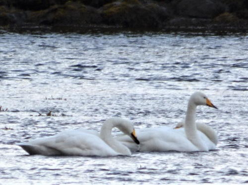 Whooper Swans on Loch Cuin
