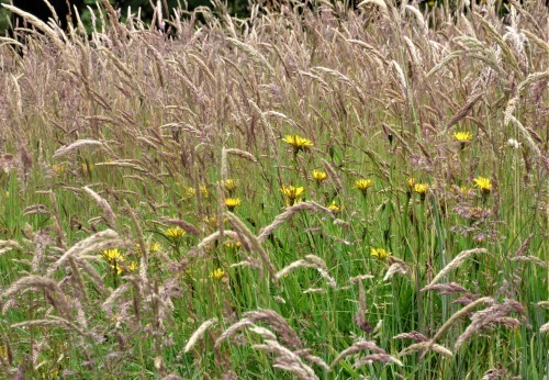 Wild lawn grasses and flowers in garden