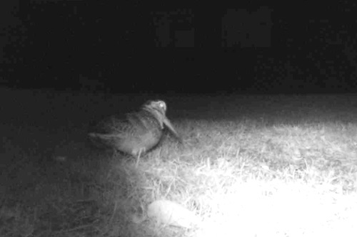 Woodcock night camera 2