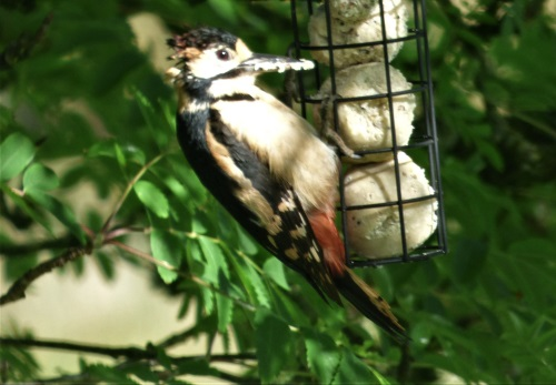 Woodpecker juvinile on fat balls