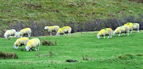 Yellow sheep