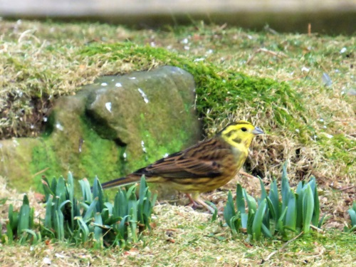 Yellowhammer in garden