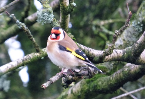 Goldfinch in garden